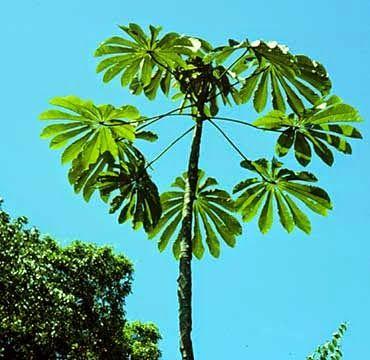 arbol de guarumo, guarumo planta medicinal, beneficios del guarumo, que es la planta del guarumo,