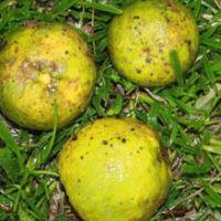 naranja agria, naranja agria planta medicinal, naranja agria propiedades, naranja agria caracteristicas